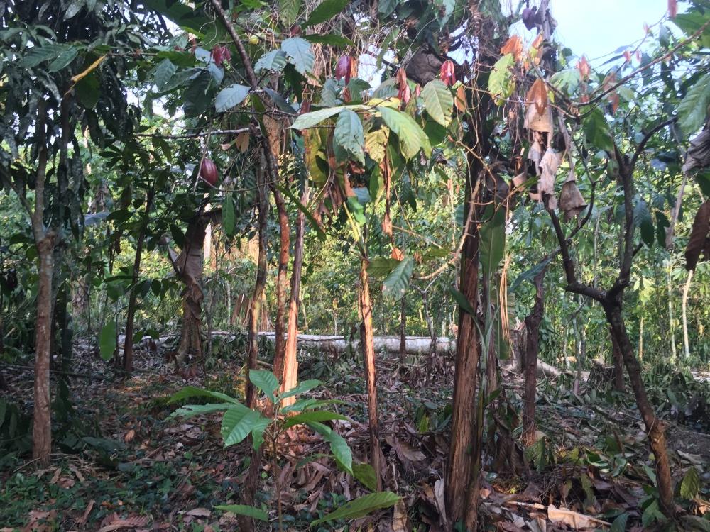 Soggiorno alla scoperta delle piantagioni di cacao nell'isola di Principe Sao tomè in africa